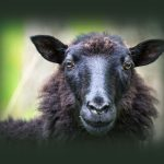 The Black Sheep Image